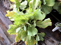 Invasive Water Lettuce